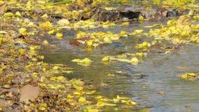Gele bloem die op kreek vallen stock footage