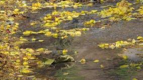 Gele bloem die op kreek vallen stock videobeelden