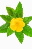 Gele bloem die op witte achtergrond wordt geïsoleerd Royalty-vrije Stock Afbeeldingen
