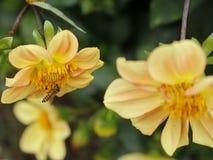 Gele bloem en een bij stock afbeeldingen