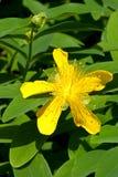 Gele bloem en een knop Royalty-vrije Stock Afbeeldingen