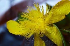 Gele bloem en slakken Stock Foto's