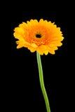 Gele bloem Gerber Stock Afbeeldingen