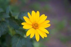 Gele bloem Heliopsis op vage achtergrond stock foto's
