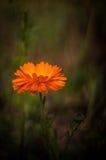 Gele bloem in het groene gras Stock Foto's