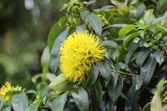 Gele bloem, Ho Chi Minh City Royalty-vrije Stock Foto