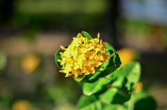 Gele Bloem, Ixora-Bloem met bladeren achtergrond Gele aarbloem Het bloeien chinensis Ixora van koningsIxora Rubiaceaebloem IX Royalty-vrije Stock Foto's