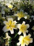 Gele Bloem Lilly Stock Foto's