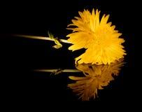 Gele bloem met bezinning over zwarte stock fotografie
