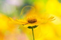 Gele bloem met gevoelige transparante bloemblaadjes op een mooie achtergrond De bloemblaadjessamenvatting van de Kosmeyabloem Stock Foto's