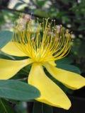 Gele bloem met lange yelow stampers, Royalty-vrije Stock Afbeelding