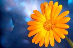 Gele bloem op blauw Royalty-vrije Stock Afbeeldingen