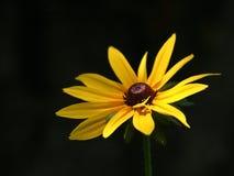 Gele bloem op de zwarte achtergrond royalty-vrije stock foto