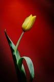 Gele bloem op een rode achtergrond met waterdruppeltjes Stock Fotografie