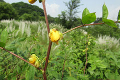 Gele bloem op medow royalty-vrije stock fotografie