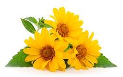 Gele bloem Rudbeckia, minizonnebloem royalty-vrije stock fotografie