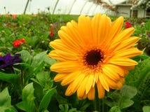 Gele Bloem in Serre Stock Afbeeldingen