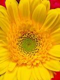 Gele Bloem tegen een Minimale Rode Achtergrond Stock Fotografie