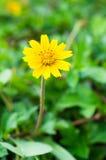 Gele bloem in tuin Royalty-vrije Stock Foto