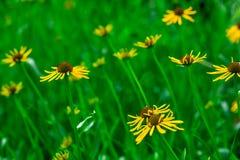 Gele bloem in tuin bij zonsopgang Gele Silphium-perfoliatum Stock Foto's