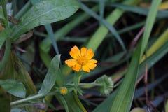 Gele bloem in tuin dichte omhooggaand royalty-vrije stock afbeeldingen