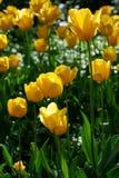 Gele bloem, tulp, Liliaceae Royalty-vrije Stock Foto's