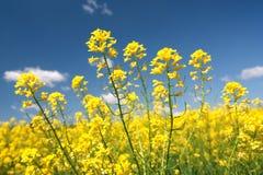 Gele bloem van bij mooie dag en blauwe hemel. Stock Afbeeldingen