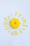Gele bloem van chrysant met bloemblaadjes op een witte achtergrond royalty-vrije stock afbeeldingen