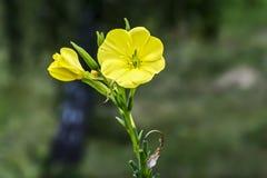 Gele bloem van de eeuwigdurende kruidprimula Royalty-vrije Stock Foto's