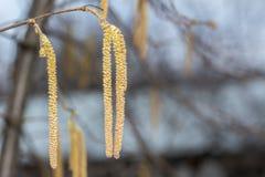 Gele bloem van de de Hazelaar of Corylus-installatie royalty-vrije stock foto