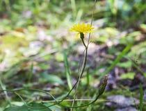 Gele bloem van eeuwigdurend kruid Yastrebinka Royalty-vrije Stock Foto's