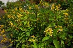 Gele bloem van Gouden Thryallis, Gouden Douche, Douche van Goud, Royalty-vrije Stock Afbeelding