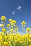 Gele bloem van verkrachting (Lat. Brassica napus) Royalty-vrije Stock Foto's