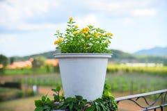 Gele bloem in witte pot in openlucht en landbouwgrond stock afbeeldingen
