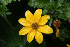Gele bloembloei in de regen royalty-vrije stock afbeelding