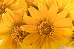 Gele bloembloemblaadjes Royalty-vrije Stock Foto