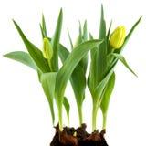 Gele bloembollen Stock Afbeeldingen