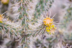 Gele bloemcactus royalty-vrije stock foto