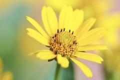 gele bloemclose-up in de zomertijd Royalty-vrije Stock Afbeeldingen