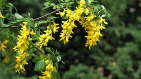 Gele bloemclusters die van Gemeenschappelijk Laburnum in gematigde wind, 4K slingeren stock video