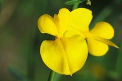 Gele bloemen. Royalty-vrije Stock Foto