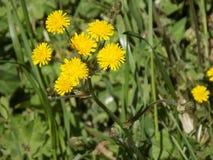Gele bloemen Royalty-vrije Stock Fotografie