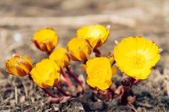 Gele bloemen Adonis Stock Afbeeldingen