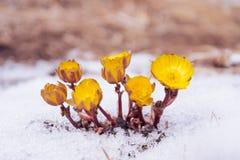 Gele bloemen Adonis onder sneeuw Stock Foto's