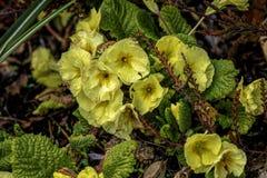 Gele Bloemen als achtergrond en Groene Bladeren Stock Foto's