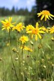 Gele bloemen bij weide in bergen Royalty-vrije Stock Fotografie