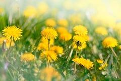 Gele bloemen in de lente - paardebloembloemen Stock Foto's