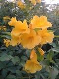 Gele bloemen in de middag Royalty-vrije Stock Foto