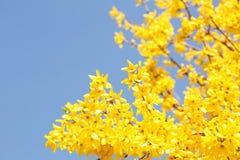 Gele bloemen De mooie Bloei van Forsythiabush Royalty-vrije Stock Afbeeldingen