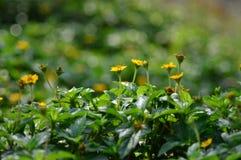 Gele bloemen in de ochtend Stock Foto